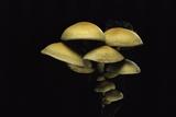 Hypholoma Fasciculare (Sulphur Tuft  Clustered Woodlover)