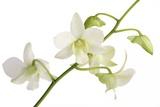 Dendrobium Emma White