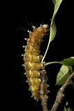 Saturnia Pyri (Giant Peacock Moth  Great Peacock Moth  Large Emperor Moth) - Caterpillar before Pup