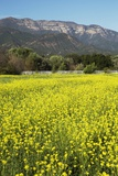 Yellow Mustard and Topa Topa Mountains in Spring  Upper Ojai  California  Usa  04262014