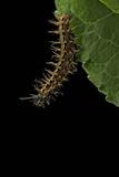 Argynnis Paphia (Silver-Washed Fritillary) - Caterpillar