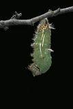 Morpho Peleides (Blue Morpho) - Caterpillar Pupating