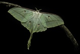 Actias Selene (Indian Moon Moth  Indian Luna Moth)