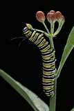 Danaus Plexippus (Monarch Butterfly) - Caterpillar Feeding on Milkweed Flower