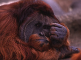 Adult Male Orangutan Thinking