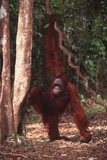 Orangutan Holding Vine near Rainforest
