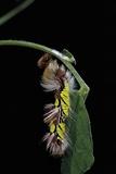 Morpho Peleides (Blue Morpho) - Caterpillar Shedding its Skin