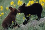Black Bear Cubs Pecking