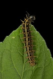 Argynnis Paphia (Silver-Washed Fritillary) - Caterpillar