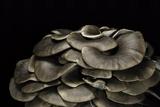 Pleurotus Ostreatus (Oyster Mushroom  Mock Oyster  Oyster Cap)