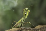 Mantis Religiosa (Praying Mantis) - in Defensive Posture  Threat Display