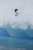 Adelie Penguin Preparing to Dive into Water