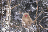 Japanese Macaque Perched on Tree