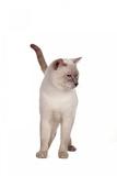 Siamese Thai Cat