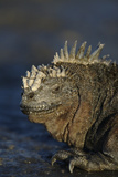 Marine Iguana at Water's Edge