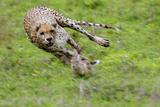 Cheetah Pursuing African Bush Hare