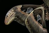 Attacus Atlas (Atlas Moth) - Wings Detail