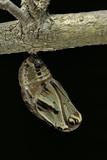 Brassolis Isthmia (Coconut Tree Caterpillar) - Pupa