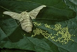 Bombyx Mori (Common Silkmoth) - Female Laying Eggs on Mulberry Leaf