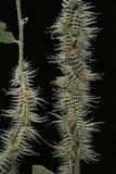 Automeris Egeus (Moth) - Caterpillars
