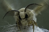 Bombyx Mori (Common Silkmoth) - Male Portrait