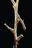 Gnophos Sp (Annulet) - Caterpillar or Inchworm Camouflaged on Twig