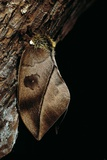 Automeris Harrisorum (Moth)