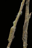 Gastropacha Quercifolia (Lappet Moth) - Caterpillars Camouflaged on Twigs