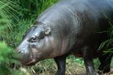 Pygmy Hippopotamus  Melbourne's Zoological Park