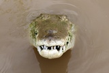 American Crocodile  Tarcoles River  Costa Rica close up Reptile Dinosaur Croc