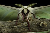 Actias Selene (Indian Moon Moth  Indian Luna Moth) - Portrait
