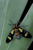 Euchromia Folletii (South African Day-Flying Moth)