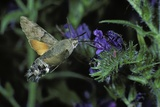 Macroglossum Stellatarum (Hummingbird Hawk-Moth) - Flying and Feeding on Flower Nectar