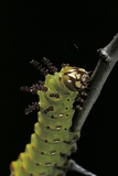 Eacles Imperialis (Imperial Moth) - Caterpillar Portrait