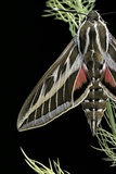Hyles Lineata (White-Lined Sphinx  Hummingbird Moth)