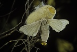 Bombyx Mori (Common Silkmoth) - Female Exposing its Scent Glands (Sacculi Laterales) to Attract Mal