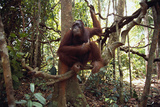 Orangutan Resting on Tree Branch