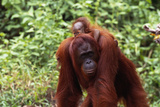 Baby Orangutan Riding Piggyback