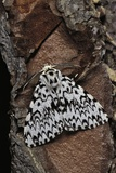 Lymantria Monacha (Black Arches Moth  Nun Moth)