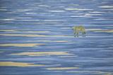 Solitary Polar Bear Walking on Pack Ice