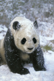 Giant Panda by Snow