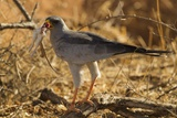 Pale Chanting Goshawk Eating Rodent