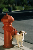 Jack Russell Terrier Urinating on Fire Hydrant