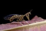 Mantispa Styriaca (Mantidfly)