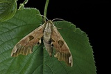 Mimas Tiliae (Lime Hawk Moth)