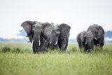 An Elephant Herd in Grassland