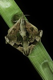 Mimas Tiliae (Lime Hawk Moth) - Mating