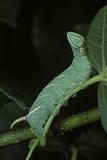 Mimas Tiliae (Lime Hawk Moth) - Caterpillar