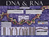DNA &amp; RNA