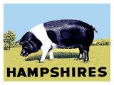 Cochon «Hampshires» Giclée